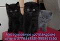 чистокровные шотландские котята с документами
